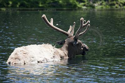 Roosevelt Elk nimmt Bad | Foto mit hoher Auflösung |ID 3433998