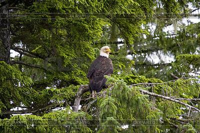 Amerikanischer Weißkopfseeadler | Foto mit hoher Auflösung |ID 3434079