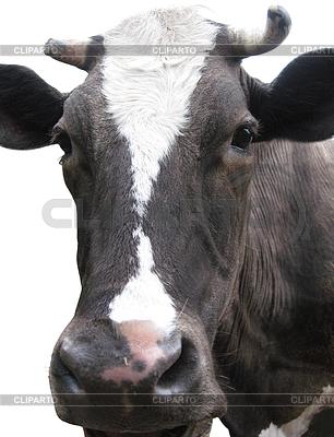 Schwarz-weiße Kuh auf dem weißen Hintergrund | Foto mit hoher Auflösung |ID 3454717