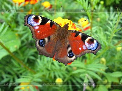 Pfau Auge auf Blume | Foto mit hoher Auflösung |ID 3475449