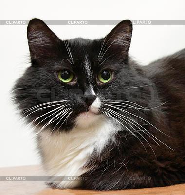 The muzzle is black and white cat | Foto stockowe wysokiej rozdzielczości |ID 3566870