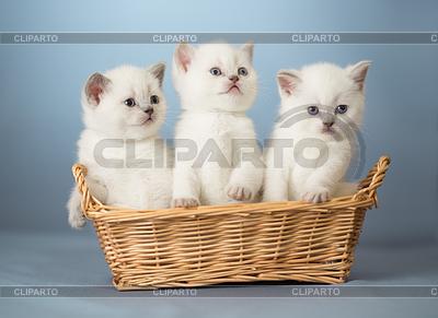 Drei weiße British kittens in basket | Foto mit hoher Auflösung |ID 3657098