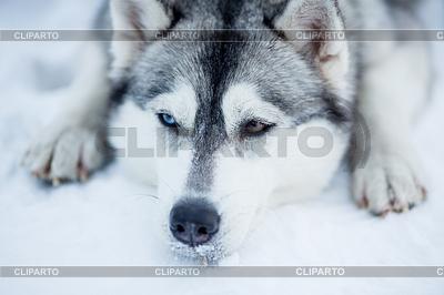 Müde Siberian Husky Schlitten Hund Porträt | Foto mit hoher Auflösung |ID 3657675