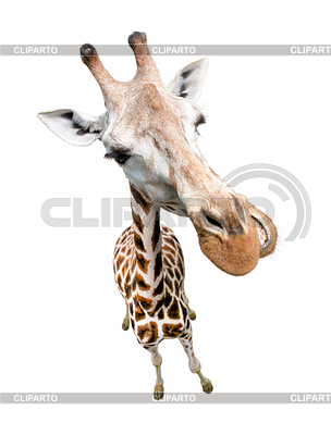 Giraffe portrait . Top view wide lens s | Foto stockowe wysokiej rozdzielczości |ID 3658169