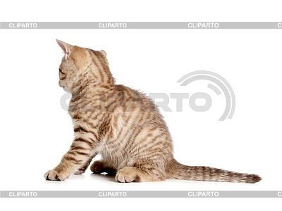 Striped british kitten hinten oder Rückansicht   Foto mit hoher Auflösung  ID 3658939