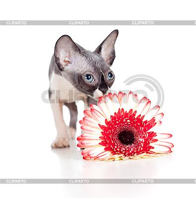 아프리카 데이지 꽃과 캐나다 스핑크스 고양이 | 높은 해상도 사진 |ID 3658957