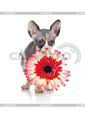 아프리카 데이지 꽃과 캐나다 스핑크스 고양이 | 높은 해상도 사진 |ID 3658958