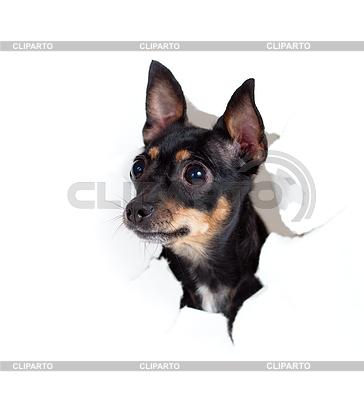 Toy terrier pies na bocznym otworem rozdarty papieru | Foto stockowe wysokiej rozdzielczości |ID 3659387