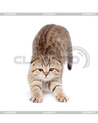 Tabby british Kätzchen streckt sich | Foto mit hoher Auflösung |ID 3660644